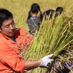 食育事業 「稲刈り体験」イベント開催しました!